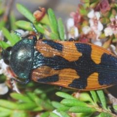 Castiarina helmsi (A jewel beetle) at Kosciuszko National Park - 8 Feb 2021 by Harrisi