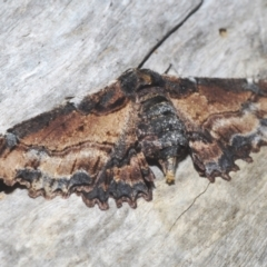 Pholodes sinistraria (Sinister Moth, Frilled Bark Moth) at Goorooyarroo - 9 Feb 2021 by Harrisi