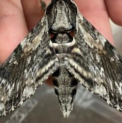 Agrius convolvuli (Convolvulus Hawk Moth) at Pialligo, ACT - 13 Feb 2021 by Ghostbat