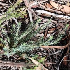 Melichrus urceolatus (Urn heath) at Dryandra St Woodland - 6 Feb 2021 by ConBoekel