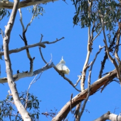 Cacatua galerita (Sulphur-crested Cockatoo) at Dryandra St Woodland - 6 Feb 2021 by ConBoekel