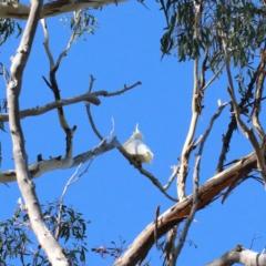 Cacatua galerita (Sulphur-crested Cockatoo) at Dryandra St Woodland - 6 Feb 2021 by ConBoekel