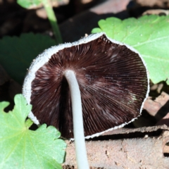 Coprinellus etc. (An Inkcap) at Dryandra St Woodland - 6 Feb 2021 by ConBoekel