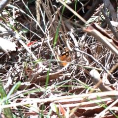 Heteronympha merope (Common Brown) at Dryandra St Woodland - 13 Feb 2021 by ConBoekel