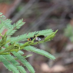 Braconidae sp. (family) (Unidentified braconid wasp) at Dryandra St Woodland - 13 Feb 2021 by ConBoekel