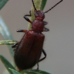 Lagriini sp. (tribe) (Unidentified lagriine darkling beetle) at Deakin, ACT - 13 Feb 2021 by LisaH