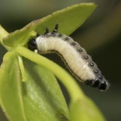 Paropsisterna variicollis (Eucalyptus variegated beetle) at Higgins, ACT - 7 Feb 2021 by AlisonMilton