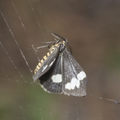 Nyctemera amicus (Senecio or Magpie moth) at Higgins, ACT - 8 Feb 2021 by AlisonMilton