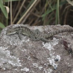 Intellagama lesueurii (Eastern Water Dragon) at Umbagong District Park - 9 Feb 2021 by AlisonMilton