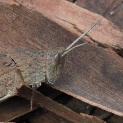 Goniaea opomaloides (Mimetic Gumleaf Grasshopper) at Dryandra St Woodland - 13 Feb 2021 by ConBoekel