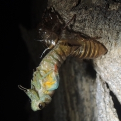 Galanga labeculata (Double-spotted cicada) at Conder, ACT - 27 Dec 2020 by michaelb