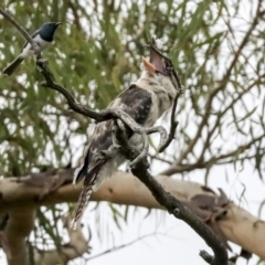 Dacelo novaeguineae (Laughing Kookaburra) at Umbagong District Park - 9 Feb 2021 by AlisonMilton