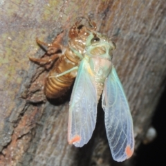 Galanga labeculata (Double-spotted cicada) at Conder, ACT - 3 Jan 2021 by michaelb
