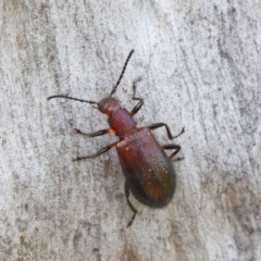 Lagriini sp. (tribe) (Unidentified lagriine darkling beetle) at Dryandra St Woodland - 13 Feb 2021 by ConBoekel
