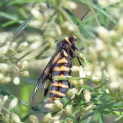 Amata (genus) (Handmaiden) at Dryandra St Woodland - 13 Feb 2021 by ConBoekel
