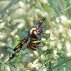 Amata (genus) at Dryandra St Woodland - 13 Feb 2021