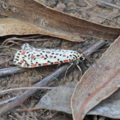 Utetheisa pulchelloides (Heliotrope Moth) at Dryandra St Woodland - 13 Feb 2021 by ConBoekel