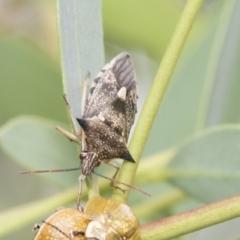 Oechalia schellenbergii (Spined Predatory Shield Bug) at Umbagong District Park - 8 Feb 2021 by AlisonMilton