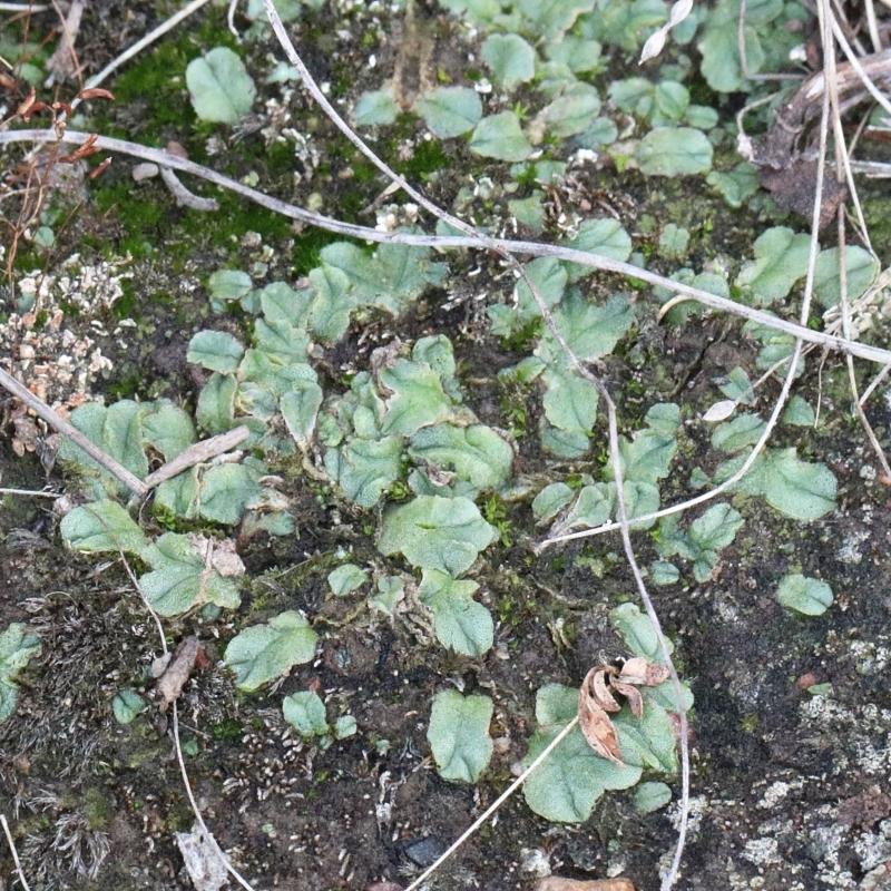 Riccia sp. at Dryandra St Woodland - 13 Feb 2021