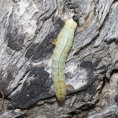 Pergidae sp. (family) (Unidentified Sawfly) at Umbagong District Park - 8 Feb 2021 by AlisonMilton