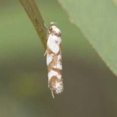 Palimmeces habrophanes (A Concealer moth) at Umbagong District Park - 8 Feb 2021 by AlisonMilton