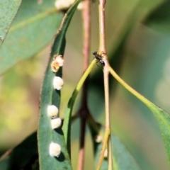 Unidentified Ant (Hymenoptera, Formicidae) (TBC) at Carl Fietz Park - 13 Feb 2021 by Kyliegw
