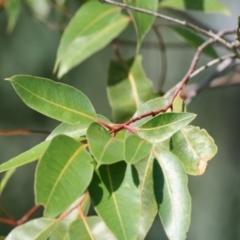 Unidentified Gum Tree (TBC) at Wodonga - 13 Feb 2021 by Kyliegw