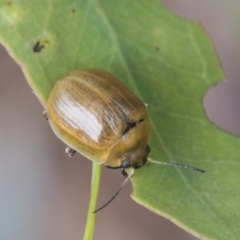 Paropsisterna variicollis (TBC) at Fyshwick, ACT - 9 Feb 2021 by AlisonMilton