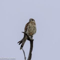 Falco cenchroides (Nankeen Kestrel) at Bullen Range - 23 Jan 2021 by BIrdsinCanberra