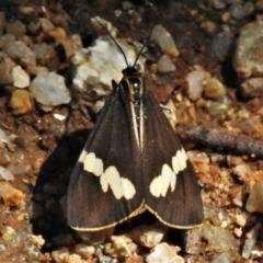 Nyctemera amicus (Senecio or Magpie moth) at Tidbinbilla Nature Reserve - 14 Feb 2021 by JohnBundock