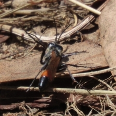 Podalonia tydei (Caterpillar-hunter wasp) at Stranger Pond - 14 Feb 2021 by RodDeb