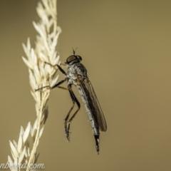 Cerdistus varifemoratus (Robber fly) at Kambah, ACT - 23 Jan 2021 by BIrdsinCanberra
