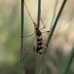 Gynoplistia (Gynoplistia) bella (A crane fly) at Currawang, NSW - 14 Feb 2021 by camcols
