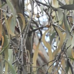 Amyema pendula subsp. pendula (Drooping Mistletoe) at Murrumbateman, NSW - 13 Feb 2021 by SimoneC