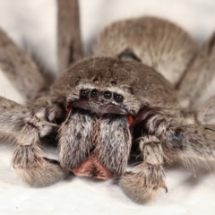 Unidentified Huntsman spider (Sparassidae) (TBC) at Melba, ACT - 13 Feb 2021 by kasiaaus