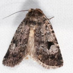 Thoracolopha verecunda (A Noctuid moth (group)) at Melba, ACT - 13 Feb 2021 by kasiaaus
