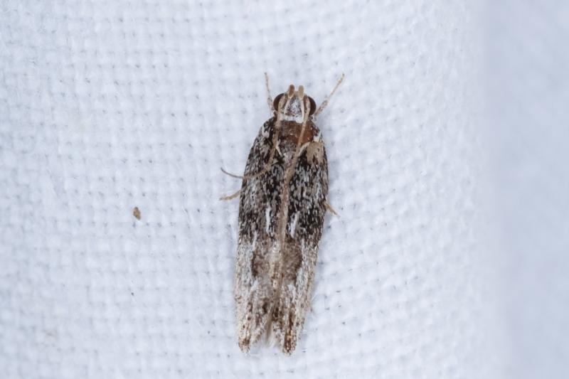 Ardozyga (genus) at Melba, ACT - 14 Feb 2021