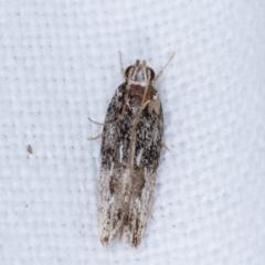 Ardozyga (genus) (Twirler moth, gelechiid moth) at Melba, ACT - 13 Feb 2021 by kasiaaus