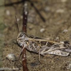 Oedaleus australis (Australian Oedaleus) at Bullen Range - 30 Jan 2021 by BIrdsinCanberra