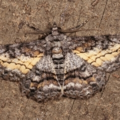 Cleora (genus) (A Looper Moth) at Melba, ACT - 13 Feb 2021 by kasiaaus