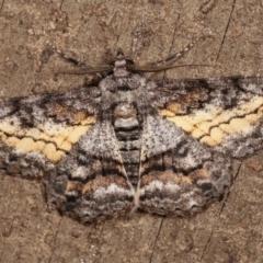 Cleora (genus) (A Looper Moth) at Melba, ACT - 13 Feb 2021 by kasiaaus