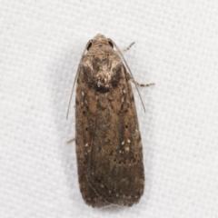 Athetis tenuis (A Noctuid moth) at Melba, ACT - 13 Feb 2021 by kasiaaus
