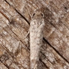 Unidentified moths group 2 at Melba, ACT - 14 Feb 2021