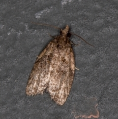 Capua intractana (A Tortricid moth) at Melba, ACT - 13 Feb 2021 by Bron