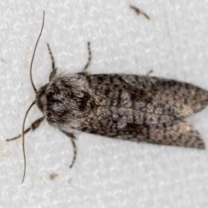 Trigonocytarra clandestina at Melba, ACT - 13 Feb 2021