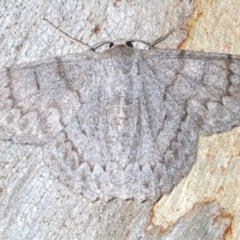 Crypsiphona ocultaria (Red-lined Looper Moth) at Black Mountain - 11 Feb 2021 by Harrisi