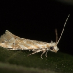 Tineidae (family) (Clothes moths (Tineidae)) at Melba, ACT - 13 Feb 2021 by Bron