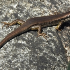 Eulamprus heatwolei (Yellow-bellied Water-skink) at Namadgi National Park - 13 Feb 2021 by KMcCue