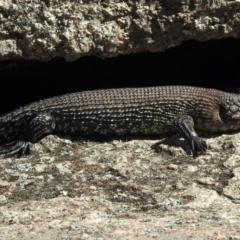 Egernia cunninghami (Cunningham's Skink) at Namadgi National Park - 13 Feb 2021 by KMcCue