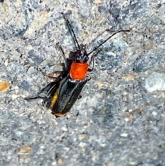 Chauliognathus tricolor (Tricolor soldier beetle) at Majura, ACT - 14 Feb 2021 by Ghostbat
